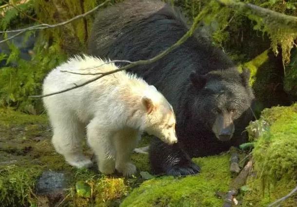 """加拿大的BC省称为""""熊的王国"""",是全球最佳观熊地之一。最值得一提的是,这里的皇家公主岛(Princess Royal Island)栖息着十分罕见的白色黑熊——灵熊,据说全世界仅在此地才能见到。   最佳观赏时间:每年5月-10月"""